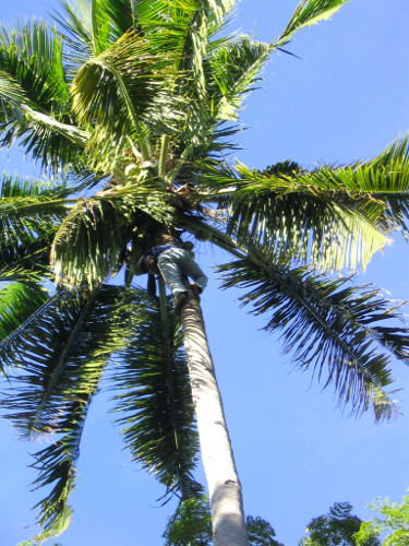 Die Kokospalme und ihre unverwechselbaren Früchte